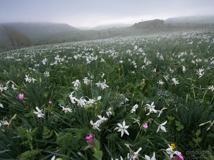Narcisses, Vieurals, Aveyron, Mai