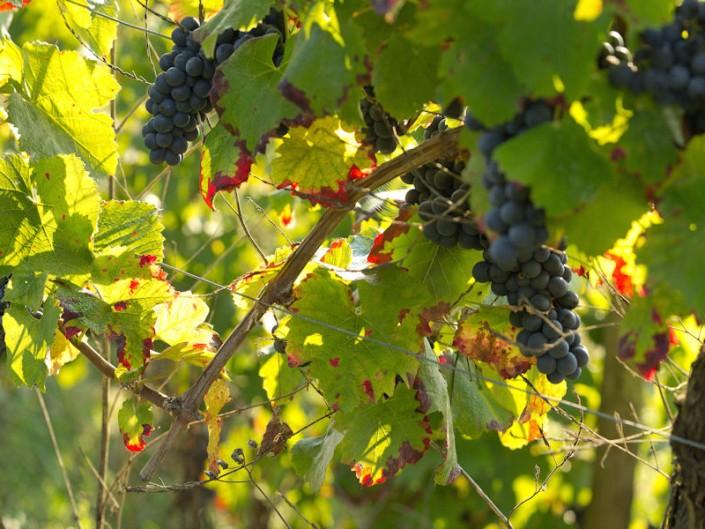 Vignes sous Cassagnes Comtaux, Clairvaux, Aveyron, Septembre