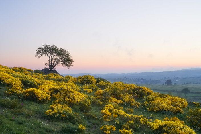 La colline aux genêts, Gramont, Lozère, Mai