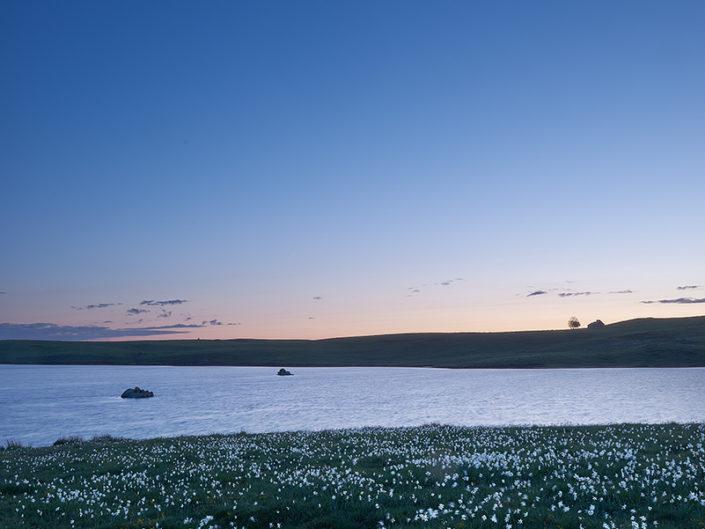Narcisses au lac des Moines, Saint Chély, Aveyron, Juin