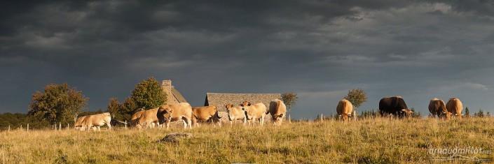 Troupeau au buron d'Embournac, Curières, Aveyron, Août