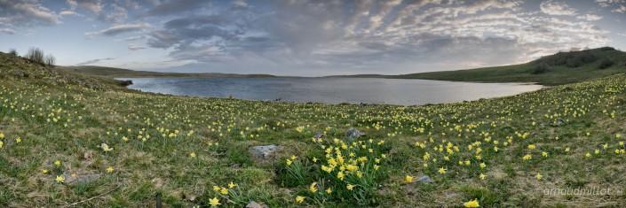 Jonquilles d'Aubrac au Lac de Saint Andéol au lever du soleil, Marchastel, Lozère, Avril
