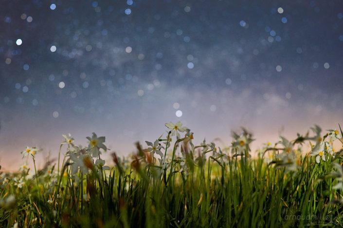 Narcisses sous les étoiles, Aubrac, Mai