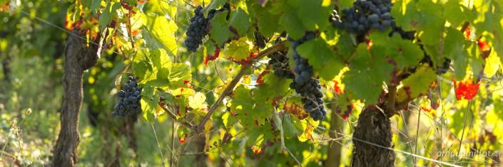 Vignes et grappes de raisin fer servadou sous Cassagnes Comtaux, Clairvaux, Aveyron, Septembre