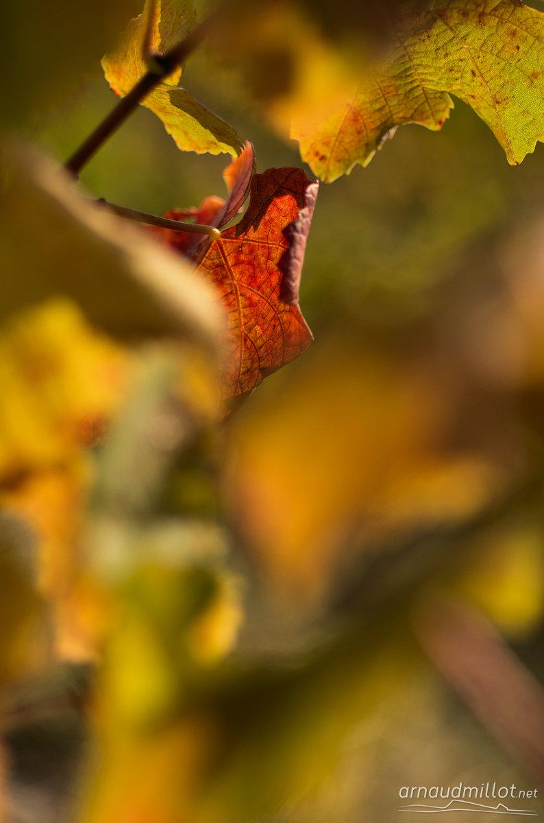 Vigne, Clairvaux, Aveyron, Novembre